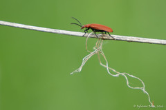 Red-headed Cardinal Beetle (Sylviane Moss) Tags: red england insect cardinal pyrochroacoccinea redheadedcardinalbeetle commoncardinalbeetle pyrochrecarlate