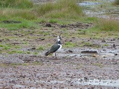 Lapwing on guard. (pilot382011) Tags: bird lapwing