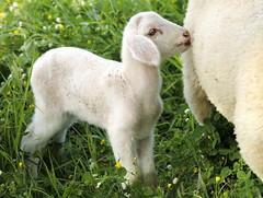 Cute little lamb (maria xenou - photodromos) Tags: flowers cute animal spring mediterranean wiese blumen greece lamb wildflowers griechenland tier mittelmeer tierwelt