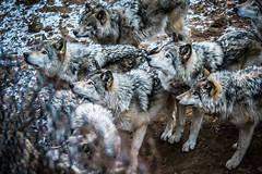 La meute (Sophie 33) Tags: parcomega dcembre 2015 meute loups loupsgris