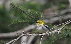 Black-throated Green Warbler (jd.willson) Tags: green nature birds wildlife birding maine jd warbler willson islesboro blackthroated jdwillson