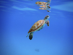 Breath (Banana Muffin (Antonio)) Tags: life blue sea vacation reflection beach nature water coral swimming relax store seaside sand nikon underwater turtle floating carribean oxygen barbados breathe emerging trident rihanna aw100