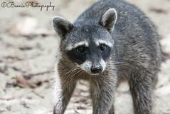 Raccoon (Beenie Photography) Tags: park parque costa wildlife cara reserve rica deer blanca national manuel raccoon antonio nacional coati capuchin