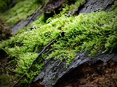 2016-06-04 secret wood (26) (april-mo) Tags: wood bois nature nord france moss mousse lichen tree trunk tronc green
