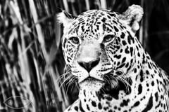 Leopard ( David Gunter) Tags: blackandwhite white black monochrome animal cat mammal kitty leopard pussycat