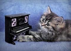 I wish, my paws would be smaller, miau... (pianocats16, miau...) Tags: baby cute cat miniature kitten piano kitty fluffy