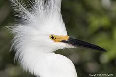 Hair Fluff (wesjr50) Tags: canonef500mmf40isusm canon 7d mk ii rookery birds wadingbirds snowyegret avian nests breedingplumage staugustinealligatorfarm staugustineflorida flash better beamer