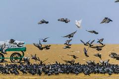 The Odd One (Kumaravel) Tags: india nature birds nikon dof bokeh pigeons bluesky crop grains marinabeach chennai kumar birdfeeding kumaravel d3100