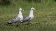 Caspian Gull pair (Tris Enticknap (catching up - again!)) Tags: gulls romania caspiangull laruscachinnans danubedelta nikond750 nikkor300mmf4epfedvrlens