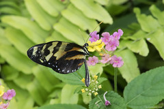 Butterfly 2016-57 (michaelramsdell1967) Tags: pink flowers plant flower fern macro green love nature beautiful beauty animal animals yellow closeup butterfly bug garden insect spring natural vibrant wildlife butterflies vivid insects bugs zen upclose