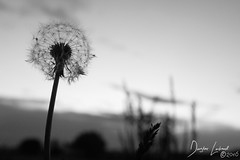 Any day now, we shall be released (D.L.Photog) Tags: plants weeds fujifilm x100t