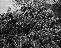 Gorse Bouquet (Hyons Wood) (Jonathan Carr) Tags: bw white abstract black monochrome rural landscape flora flowering 4x5 abstraction northeast largeformat gorse 5x4