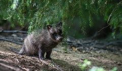 Cutenes Overload (Mikko Sarn) Tags: green nature forest wildlife spruce luontokuva racoondog nyctereutesprocyonoides supikoira