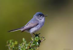 Blue Gray Gnatcatcher (E_Rick1502) Tags: wow