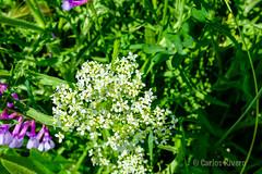 Flores primaverales. (Airbeluga) Tags: madrid espaa paisajes naturaleza nature cerca comunidaddemadrid elpardo romanzanares