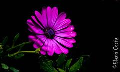 Delia (Elena Costa Phographer) Tags: sublimeflowershot doublefantasy redmatrix universeofphotography flower fioriviola flowers artisticflowers fiore ngc delia fiori