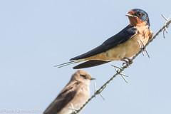 Barn Swallow (rdroniuk) Tags: birds passerines smallbirds swallows barnswallow hirundorustica oiseaux passereaux hirondelles hirondellerustique