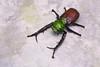 Cheirotonus jansoni - Folder951 (P. Colman) Tags: origami paper insect beetle cheirotonus sd1merrill
