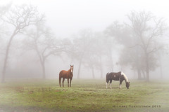 college-station-12-24-2015-8757 (m.torkildsen) Tags: horses fog collegestation