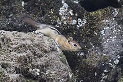 Naturally Caffeinated (Gunn Shots (Mark Gunn)) Tags: cute oregon squirrel wildlife bendoregon goldenmantledgroundsquirrel