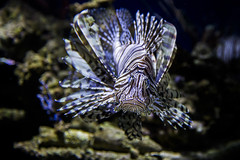 Lionfish (Xiang&Jie) Tags: fish lionfish beautifulfish beautifullionfish