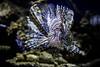 Lionfish (Xiang&Jie) Tags: fish lionfish beautifulfish beautifullionfish