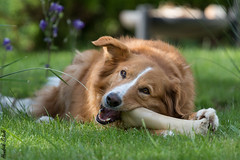 Ein kleiner Snack :-) (HendrikSchulz) Tags: animal animals june juni canon germany hund lilly snack bone garten haustier hunde haustiere dogphotography bordercolliemix mittagspause knochen 2016 animalphotography petphotography tierfotografie canonef70200f4lusm hundefotografie canoneos7dmarkii haustierfotografie hendrikschulz hendriktschulz harzerfuchsmix