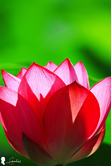 2016.6.18  Lotus (Steven Weng) Tags: flowers canon lotus taiwan taipei   500mm  ef500  eos7d2