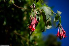 Peruvian beauties (khandozhkoa) Tags: travel flowers plants nature colors closeup 35mm fuji bokeh velvia fujifilm fujinon wideopen bokehlicious fujistas