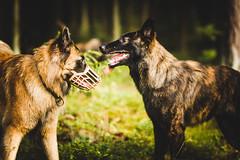 IMG_4558 (jabberjinx) Tags: dog dogs canon shepherd sable canine hh belgian belgianshepherd brindle dutchshepherd tervueren dogphotos hollandse dutchie belgiantervueren paimenkoira hollandseherder canoneos7d canon7d belgianshepherdtervueren hollanninpaimenkoira holsku