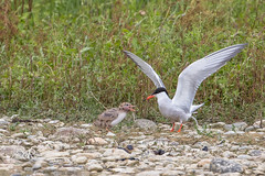 Sterne pierregarin - Sterna hirundo (Domaine Des Oiseaux, Ariege) 25 juin 2016 (Christophe.R.) Tags: canon charadriiformes commontern ddo domainedesoiseaux france ladddo larids mazres midipyrenes printemps sternahirundo sternepierregarin sternepierregarinsternahirundo bird oiseau wwwlesamisdudomainedesoiseauxfr 50 11250 500mm 400iso