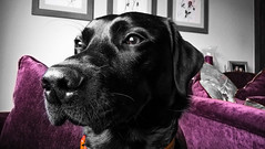 Bobby (tobymeg) Tags: pets black dogs altered scotland flickr labrador phone microsoft 640 lumia lte