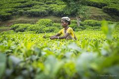 Srimangal-6168 (BohemianTraveler) Tags: asia tea bangladesh srimangal srimongol sreemangal