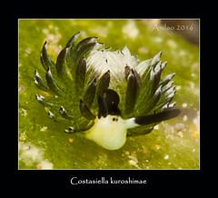 Costasiella kuroshimae  A16_6702ff (~Tavistock~) Tags: costasiella nudibranch anilao halo