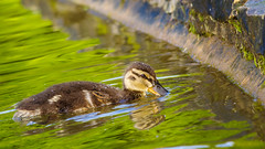 Cute mallard (Meg4mi) Tags: wild bird water birds animal reflections pentax wildlife reflects k1 pentaxart