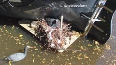 Amsterdam (maartje jaquet) Tags: amsterdam birds video branch nest keizersgracht videoart meerkoet meerkoeten oneminute meerkoetennest