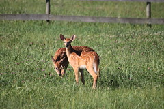 IMG_9174 (thinktank8326) Tags: nature wildlife deer spots fawn whitetaileddeer babyanimal