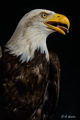 Bald Eagle (a3aanw) Tags: arendspaans roofvogelworksop settels d800 nikon roofvogels