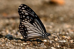 Parantica aglea - the Glassy Tiger (BugsAlive) Tags: macro nature animal butterfly insect thailand outdoor wildlife butterflies insects lepidoptera chiangmai nymphalidae danainae glassytiger paranticaaglea doisutheppuinp liveinsects thailandbutterflies