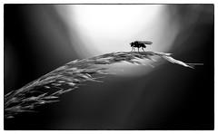 18072016-_DSC1460-Modifier (Hexilene) Tags: light white black nature plante nikon noir lumire sigma passion et blanc insecte proxy blueribbon bokey proxi nikonpassion nikond750