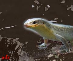IMG_3192 (paranoid_tya) Tags: animal yogyakarta reptil kadal indoonesia