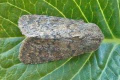 2229-_MG_2809 Brindled Ochre (Dasypolia templi) (ajmatthehiddenhouse) Tags: brindledochre dasypoliatempli dasypolia templi noctuidae xyleninae 2014 islay cuculliinae moth