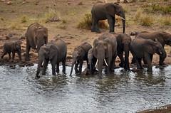 DSC_0731 (Arno Meintjes Wildlife) Tags: africa elephant nature animal southafrica wildlife reserve safari krugerpark africanelephant loxodontaafricana africanbushelephant arnomeintjes