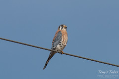 An American Kestrel poses for a picture.