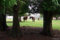 horses surrounding by trees (Mimadeo) Tags: trees horses horse mist tree nature rain misty fog landscape haze spain foggy rainy hazy euskadi basquecountry paisvasco gorbea gorbeia saldropo