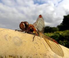 ITs Mine (Dazzygidds) Tags: nationaltrust warwickshire ruddydarter dragonflywings redtips ukdragonfly wingsofbeauty coughtoncourtgardens warwickshiredragonfly