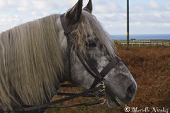 IMG_3913 ( MissChief Photography ) Tags: horses nature riding jersey equestrianshoot scottishponey