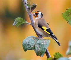 Goldfinch, garden, Nuneaton, warwickshire November 2014 (Lathers) Tags: bird garden goldfinch gaudy warwickshire appletree nuneaton cardueliscarduelis canoneos1dmarkii brightlycoloured canonef500f4lisusm