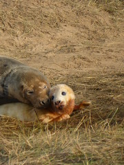 P1100256 (ianpreston) Tags: lincolnshire seals eastcoast sealpup sealcolony donnanook