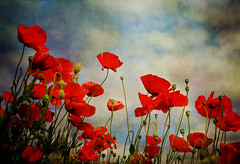 In Flanders Fields (anniedaisybaby) Tags: texture poem wwi jenny poppy remembranceday veteransday inflandersfields flypaper cornpoppy 2015 papaverrhoeas nov11 thanksto redfieldpoppy ltcoljohnmccrae weshallnotforget skeletalmess lesbrumes may31915 wopatricevincent cplnathancirillo